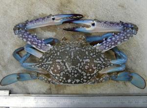 The (Portunus pelagicus) blue swimmer crab which is only found around Darwin.