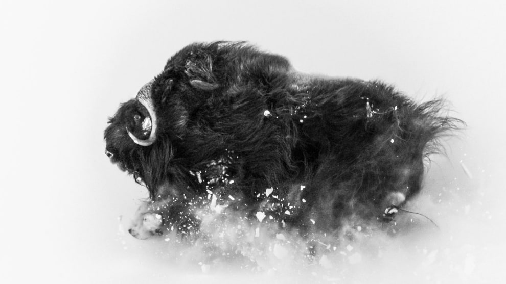 2nd Place in Wildlife. Photograph and caption by Jonas Beyer / 2018 National Geographic Photo Contest. A few miles from Qaanaaq (Thule), Greenland, I was on a hike in search of musk oxen when I came upon a group of them. This ox was running on a hillside in deep snow, which exploded underneath it—an amazing sight. The photo came together in a few seconds. I was lucky enough to be at the right spot to observe them frolicking, and then I had the incredible experience of watching them closely for about an hour. I love photographing musk oxen against the wintry landscape: They're extremely tough Arctic survivors. This photo shows their beauty and their power—and the snow they deal with for about eight months of the year.