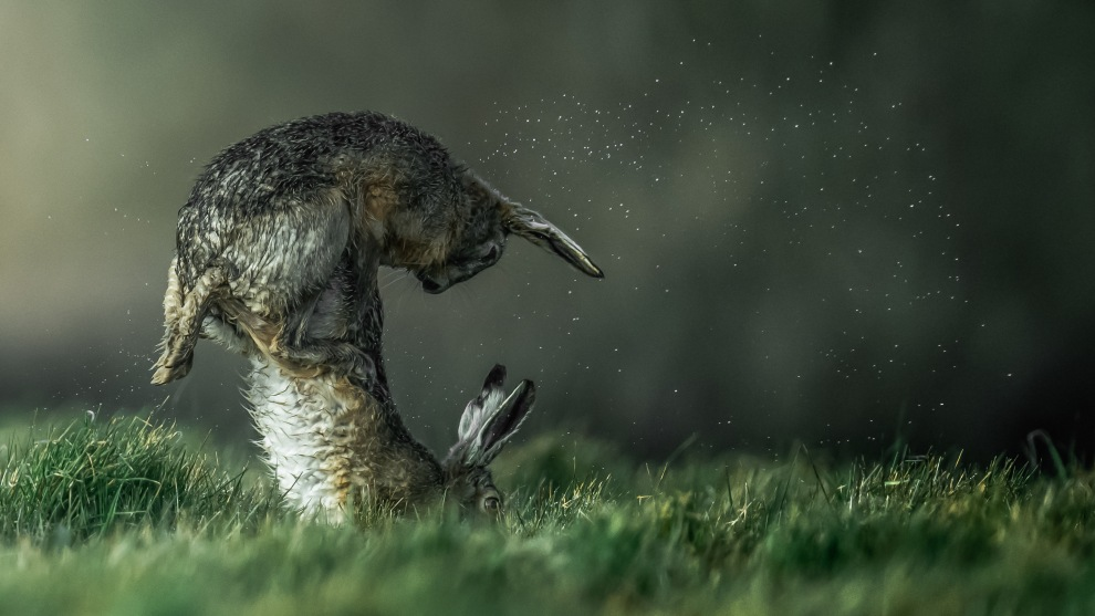 Copyright: © Nick Edwards, United Kingdom, Shortlist, Open, Natural World & Wildlife, 2019 Sony World Photography Awards. For some time, I have been photographing a colony of hares on a local farm on the Isle of Wight, UK. I noticed that they often gathered at dawn on a field ridge, where shafts of early light through a nearby wood provide ideal lighting for photography. Additionally, we had a very wet Spring, so the animals were often bedraggled and creating spray as they ran. It was then a matter of waiting for very many days for light, hares and their antics to come together for a photograph.