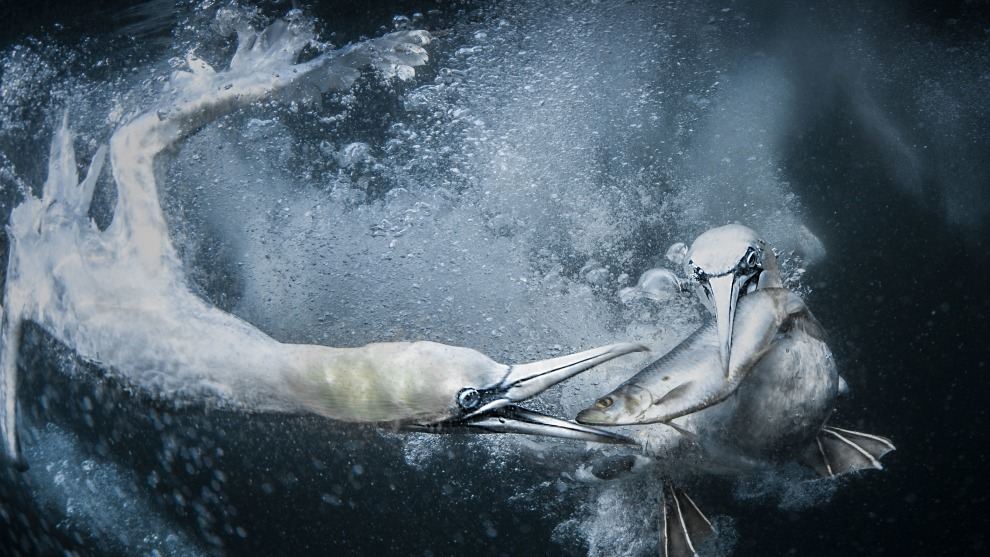 Copyright: © Tracey Lund, United Kingdom, Shortlist, Open, Natural World & Wildlife (Open competition), 2019 Sony World Photography Awards. Whilst on a trip to Shetland, the biggest thing I wanted to do was photograph the gannets as they feed underwater. The photography takes place at sea around some of Shetland's remotest headlands. Dead bait is used, using fish the Gannets would normally eat, locally sourced around Shetland. To be able to capture what goes on under the water was an unbelievable experience and one I will never forget.