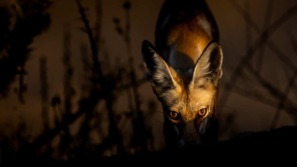 Copyright: © Msaaed Al Gharibah, Kuwait, Shortlist, Open, Natural World & Wildlife, 2019 Sony World Photography Awards. The Arabian Red Fox ( Vulpes vulpes arabica ) is a subspecies of the Red Fox and is native to Arabia and adapted to life in the desert. It inhabits virtually every environment in Arabia from cities along the coast to desert and mountains.