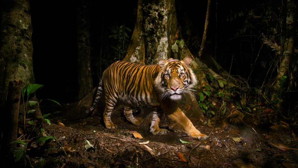 © Steve Winter. Sumatran tiger, Sumatra, Indonesia.