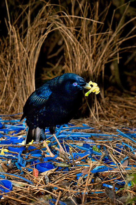 It was important to use the correct lighting (diffused flash) in order to get a sharp image of this Satin Bowerbird in Lamington National Park, Queensland. Not using a flash would have meant using an excessively high ISO, which would have caused lots of noise in the image.