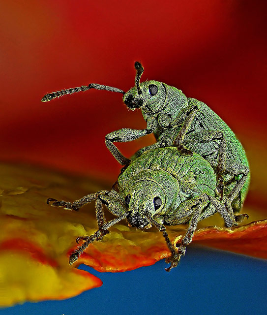 10th Place. Image by Dr. Csaba Pintér, University of Pannonia, Georgikon Faculty, Department of Plant Protection Keszthely, Hungary. Subject Matter: Phyllobius roboretanus (weevil). Magnification: 80x.
