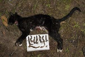 Feral Cats Australia Impact  Million