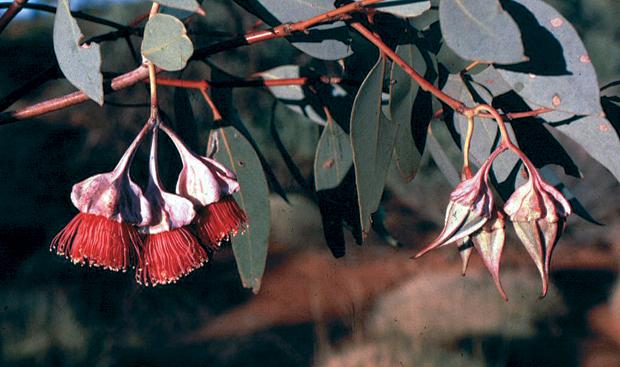 E. kingsmillii subspecies alatissima.