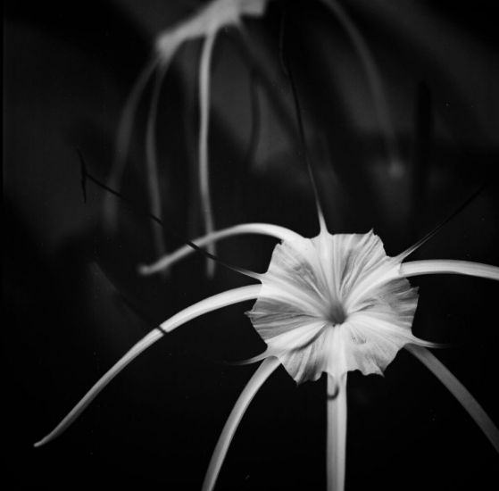 A stunning orchid on an overseas visit to Canggu Bali – truly the island of the gods. Hasselblad 503CX, Zeiss 150mm lens shutter speed unknown, f4. Fuji Acros 100 exposed and developed @ ISO 100. 32mm Extension tube. Curves, levels and crop adjusted in Lightroom CC.