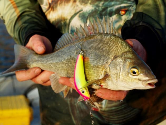 Perch Fish Facts Of Fish Facts Silver Perch Fishing World
