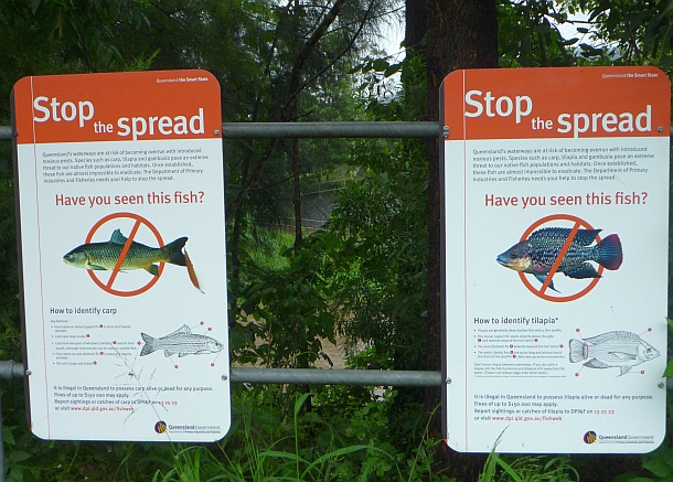 fish facts tilapia stop the spread fishing world
