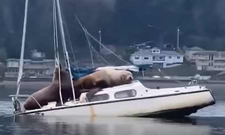 Sea Lions threaten to sunk small yacht. Image Spawn Fly Fish.