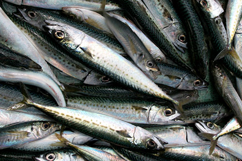 Image result for slimy mackerel