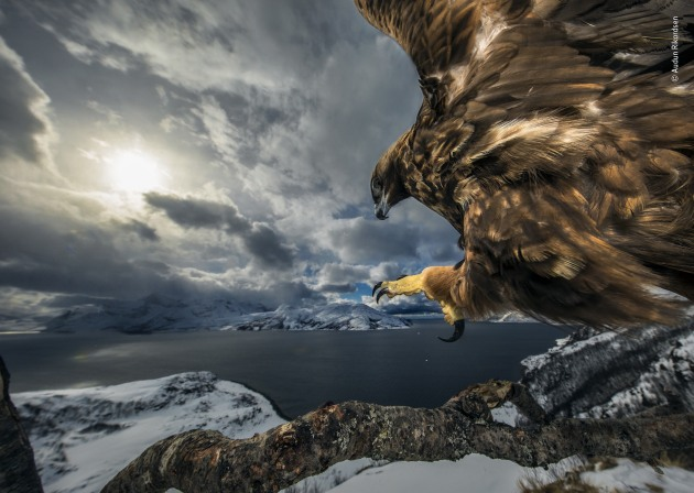 Winner 2019, Behaviour: Birds. © Audun Rikardsen (Norway). Land of the eagle. High on a ledge, on the coast near his home in northern Norway, Audun carefully positioned an old tree branch that he hoped would make a perfect golden eagle lookout. To this he bolted a tripod head with a camera, flashes and motion sensor attached, and built himself a hide a short distance away. From time to time, he left road kill carrion nearby. Very gradually – over the next three years – a golden eagle got used to the camera and started to use the branch regularly to survey the coast below. Golden eagles need large territories, which most often are in open, mountainous areas inland. But in northern Norway, they can be found by the coast, even in the same area as sea eagles. They hunt and scavenge a variety of prey – from fish, amphibians and insects to birds and small and medium-sized mammals such as foxes and fawns.