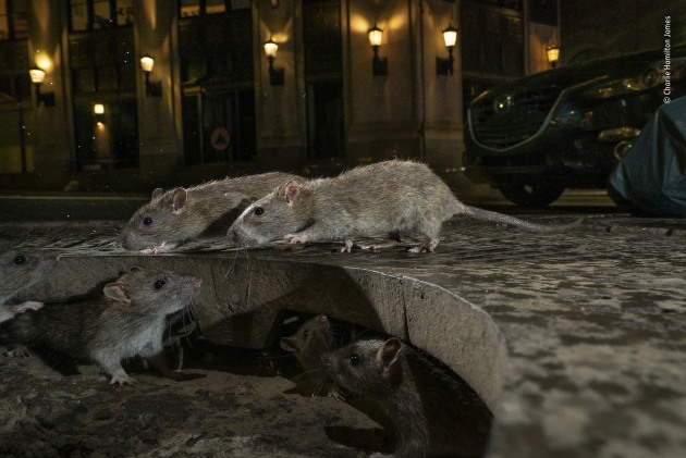 Winner 2019, Urban Wildlife. © Charlie Hamilton James (UK). The rat pack. On Pearl Street, in New York's Lower Manhattan, brown rats scamper between their home under a tree grille and a pile of garbage bags full of food waste. Their ancestors hailed from the Asian steppes, travelling with traders to Europe and later crossing the Atlantic. Today, urban rat populations are rising fast. The rodents are well suited for city living – powerful swimmers, burrowers and jumpers, with great balance, aided by their maligned long tails. They are smart – capable of navigating complex networks such as sewers. They are also social and may even show empathy towards one another. But it's their propensity to spread disease that inspires fear and disgust. Attempts to control them, though, are largely ineffective.