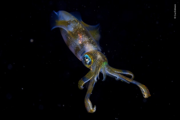 Winner 2019, 11-14 years old. © Cruz Erdmann (New Zealand). Night glow. Cruz was on an organized night dive in the Lembeh Strait off North Sulawesi, Indonesia and, as an eager photographer and speedy swimmer, had been asked to hold back from the main group to allow slower swimmers a chance of photography. This was how he found himself over an unpromising sand flat, in just 3 metres (10 feet) of water. It was here that he encountered the pair of big fin reef squid. They were engaged in courtship, involving a glowing, fast‑changing communication of lines, spots and stripes of varying shades and colours. One immediately jetted away, but the other – probably the male – hovered just long enough for Cruz to capture one instant of its glowing underwater show.