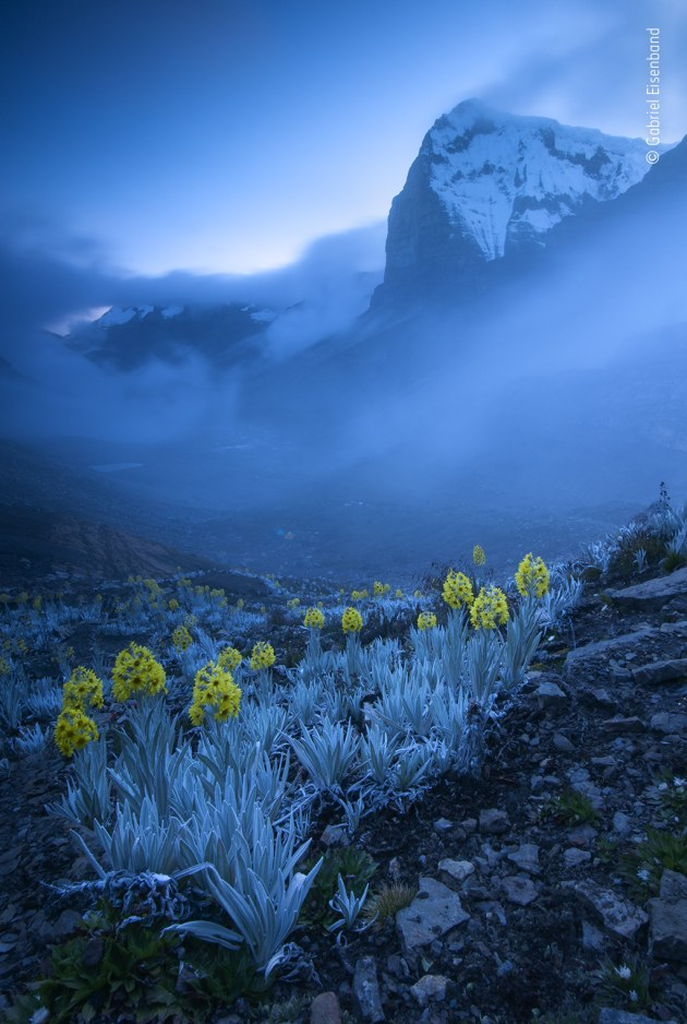 Out of the blue by Gabriel Eisenband, Colombia. Winner 2020, Plants and Fungi. It was Ritak'Uwa Blanco, the highest peak in the Eastern Cordillera of the Colombian Andes, that Gabriel had set out to photograph. Pitching his tent in the valley, he climbed up to photograph the snow-capped peak against the sunset. But it was the foreground of flowers that captured his attention. Sometimes known as white arnica, the plant is a member of the daisy family found only in Colombia. It flourishes in the high-altitude, herb-rich páramo habitat of the Andes, adapted to the extreme cold with a dense covering of woolly white 'hair' and 'antifreeze' proteins in its leaves. As the magic hour of sunset passed, there followed a blue hour that drenched the scene in an ethereal blue light. But while the silver-grey leaves were washed in blue, the flowers shone bright yellow.