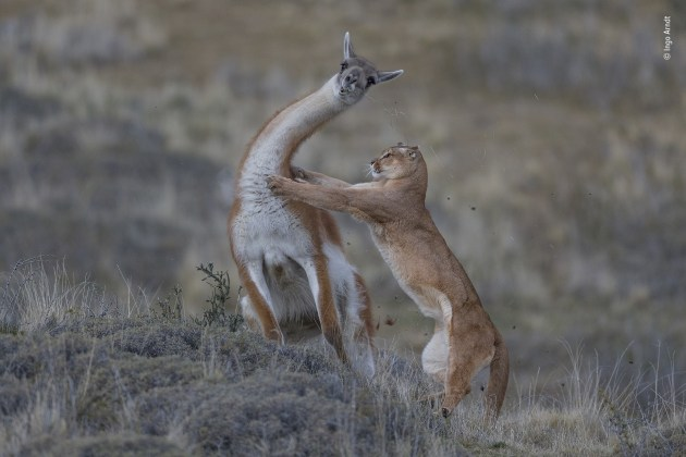 Joint Winner 2019, Behaviour: Mammals. © Ingo Arndt (Germany). The equal match. Fur flies as the puma launches her attack on the guanaco. For Ingo, the picture marked the culmination of seven months tracking wild pumas on foot, enduring extreme cold and biting winds in the Torres del Paine region of Patagonia, Chile. The female was Ingo's main subject and was used to his presence. But to record an attack, he had to be facing both prey and puma. This required spotting a potential target – here a big male guanaco grazing apart from his herd on a small hill – and then positioning himself downwind, facing the likely direction the puma would come from. To monitor her movements when she was out of his sight, he positioned his two trackers so they could keep watch with binoculars and radio Ingo as the female approached her prey. A puma is fast – aided by a long, flexible spine (like that of the closely related cheetah) – but only over short distances.