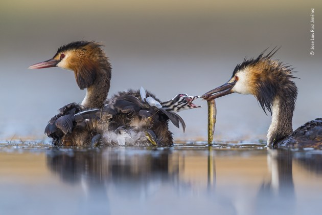 Great crested sunrise by Jose Luis Ruiz Jiménez, Spain. Winner 2020, Behaviour: Birds. After several hours up to his chest in water in a lagoon near Brozas, in the west of Spain, Jose Luis captured this intimate moment of a great crested grebe family. His camera floated on a U-shaped platform beneath the small camouflaged tent that also hid his head. The grebes are at their most elegant in the breeding season – ornate plumage, crests on their heads, neck feathers that they can fan into ruffs, striking red eyes and pink-tinged bills. They build a nest of aquatic plant material, often among reeds at the edge of shallow water. To avoid predators, their chicks leave the nest within a few hours of hatching, hitching a snug ride on a parent's back. Here the backlings will live for the next two to three weeks, being fed as fast as their parents can manage. Even when a youngster has grown enough to be able to swim properly, it will still be fed, for many more weeks, until it fledges.