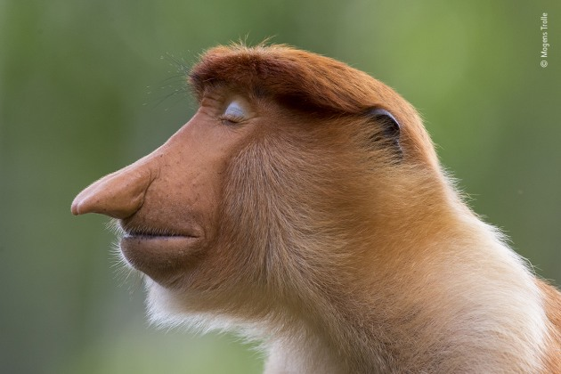 The pose by Mogens Trolle, Denmark. Winner 2020, Animal Portraits. A young male proboscis monkey cocks his head slightly and closes his eyes. Unexpected pale blue eyelids now complement his immaculately groomed auburn hair. He poses for a few seconds as if in meditation. He is a wild visitor to the feeding station at Labuk Bay Proboscis Monkey Sanctuary in Sabah, Borneo – 'the most laid-back character,' says Mogens, who has been photographing primates worldwide for the past five years. In some primate species, contrasting eyelids play a role in social communication, but their function in proboscis monkeys is uncertain. The most distinctive aspect of this young male – sitting apart from his bachelor group – is, of course, his nose. As he matures, it will signal his status and mood (female noses are much smaller) and be used as a resonator when calling. Indeed, it will grow so big that it will hang down over his mouth – he may even need to push it aside to eat.