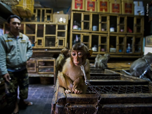 Backroom business by Paul Hilton, UK/Australia. Winner 2020, Wildlife Photojournalist Story Award. A young pig-tailed macaque is put on show chained to a wooden cage in Bali's bird market, Indonesia. Its mother and the mothers of the other youngsters on show, would have been killed. Pig‑tailed macaques are energetic, social primates living in large troops in forests throughout Southeast Asia. As the forests are destroyed, they increasingly raid agricultural crops and are shot as pests. The babies are then sold into a life of solitary confinement as a pet, to a zoo or for biomedical research. Having convinced the trader that he was interested in buying the monkey, Paul photographed it in the dark backroom using a slow exposure. Much of the illegal wildlife in the open‑air bird market is traded in the backroom areas. Macaques can be legally sold; banned species such as baby orangutans are kept boxed out of sight.