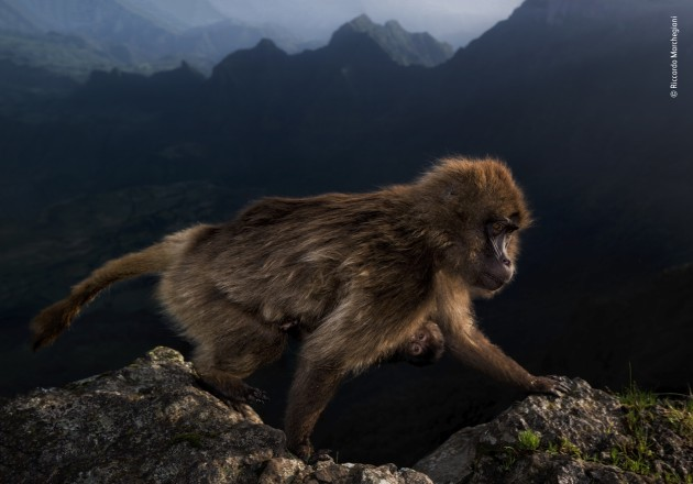 Winner 2019, 15-17 years old. © Riccardo Marchgiani (Italy). Early riser. Riccardo could not believe his luck when, at first light, this female gelada, with a week-old infant clinging to her belly, climbed over the cliff edge close to where he was perched. He was with his father and a friend on the high plateau in Ethiopia's Simien Mountains National Park, there to watch geladas – a grass eating primate found only on the Ethiopian Plateau. At night, the geladas would take refuge on the steep cliff faces, huddling together on sleeping ledges, emerging at dawn to graze on the alpine grassland. On this day, a couple of hours before sunrise, Riccardo's guide again led them to a cliff edge where the geladas were likely to emerge, giving him time to get into position before the geladas woke up. He was in luck.
