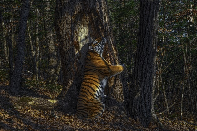 The embrace by Sergey Gorshkov, Russia. Winner 2020, Animals in their Environment, GRAND TITLE WINNER. With an expression of sheer ecstasy, a tigress hugs an ancient Manchurian fir, rubbing her cheek against bark to leave secretions from her scent glands. She is an Amur, or Siberian, tiger, here in the Land of the Leopard National Park, in the Russian Far East. The race – now regarded as the same subspecies as the Bengal tiger – is found only in this region, with a small number surviving over the border in China and possibly a few in North Korea. Hunted almost to extinction in the past century, the population is still threatened by poaching and logging, which also impacts their prey – mostly deer and wild boar, which are also hunted. But recent (unpublished) camera‑trap surveys indicate that greater protection may have resulted in a population of possibly 500–600 – an increase that it is hoped a future formal census may confirm.