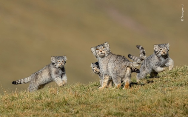 When mother says run by Shanyuan Li, China. Winner 2020, Behaviour: Mammals. This rare picture of a family of Pallas's cats, or manuls, on the remote steppes of the Qinghai–Tibet Plateau in northwest China is the result of six years' work at high altitude. These small cats are normally solitary, hard to find and mostly active at dawn and dusk. Through long-term observation, Shanyuan knew his best chance to photograph them in daylight would be in August and September, when the kittens were a few months old and the mothers bolder and intent on caring for them. He tracked the family as they descended to about 3,800 metres (12,500 feet) in search of their favourite food – pikas (small, rabbit‑like mammals) – and set up his hide on the hill opposite their lair, an old marmot hole. Hours of patience were rewarded when the three kittens came out to play, while their mother kept her eye on a Tibetan fox lurking nearby.