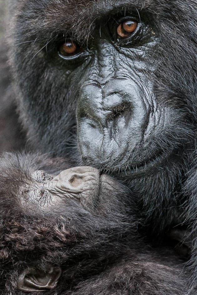 Slowly moving closer towards this Mountain Gorilla and her baby with my camera meant minimal cropping was needed when processing the image.