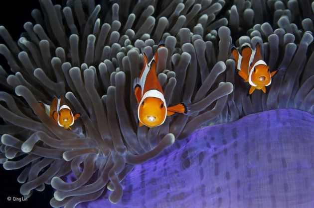 'The insiders': The bulbous tips of the aptly named magnificent anemone's tentacles contain cells that sting most fish. But the clown anemonefish goes unharmed thanks to mucus secreted over its skin, which tricks the anemone into thinking it is brushing against itself. Both species benefit. The anemonefish gains protection from its predators, which daren't risk being stung, and it also feeds on parasites and debris among the tentacles; at the same time, it improves water circulation (fanning its fins as it swims), scares away the anemone's predators and may even lure in prey for it.