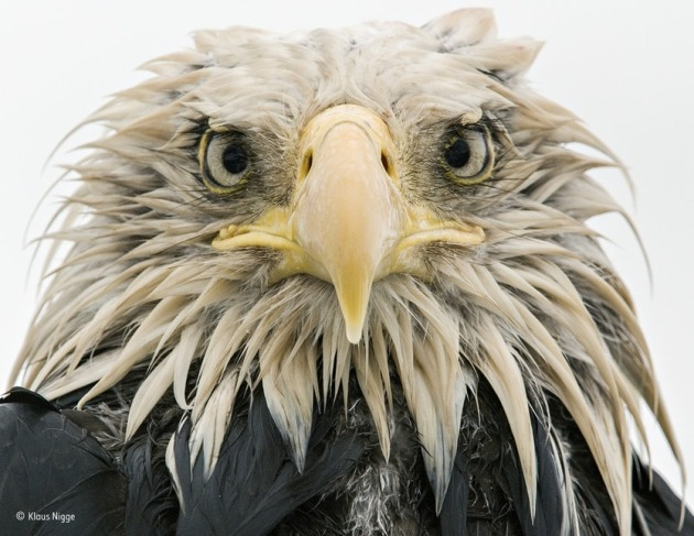 'Bold eagle': Finalist 2017, Animal Portraits After several days of constant rain, the bald eagle was soaked to the skin. Named after its conspicuous but fully-feathered white head (bald derives from an old word for white), it is an opportunist, eating various prey – captured, scavenged or stolen – with a preference for fish. At Dutch Harbor on Amaknak Island in Alaska, USA, bald eagles gather to take advantage of the fishing industry's leftovers. Used to people, the birds are bold. 'I lay on my belly on the beach surrounded by eagles,' says Klaus. 'I got to know individuals, and they got to trust me.'