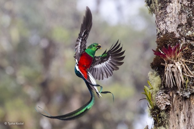 'Resplendent delivery': Tyohar watched the pair of resplendent quetzals from dawn to dusk for more than a week as they delivered fruits and the occasional insect or lizard to their two chicks. Resplendent quetzals usually nest in thicker forest, but this pair had picked a tree in a partly logged area in the Costa Rican cloud forest of San Gerardo de Dota. The additional light made it easier for Tyohar to catch the iridescent colour of the male's dazzling emerald and crimson body plumage and tail streamers, despite his fast, erratic flight pattern.
