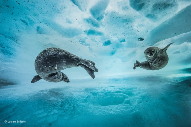 'Swim gym': 'We were still a few metres from the surface, when I heard the strange noises,' says Laurent. Suspecting Weddell seals – known for their repertoire of at least 34 different underwater call types – he approached slowly. It was early spring in east Antarctica, and a mother was introducing her pup to the icy water.