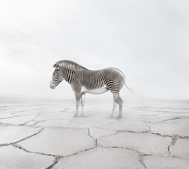 "© Alice Zilberberg. Zen Zebra, 2018. 40"" by 44"" (Edition of 10), 60"" by 65"" (Edition of 5)."