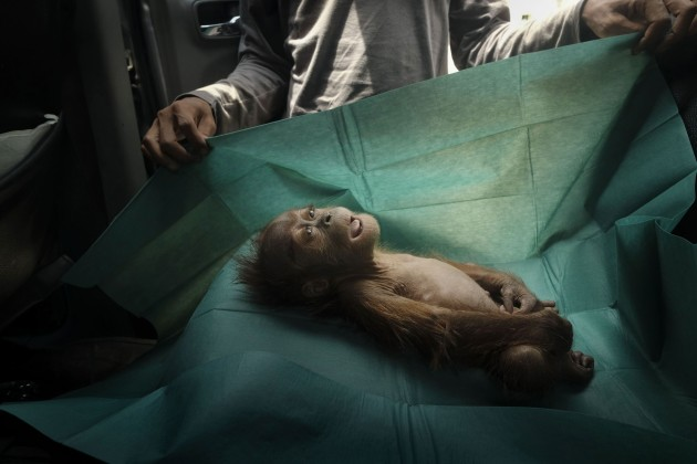 © Alain Schroeder. Final Farewell. The body of a month-old orangutan lies on a rescue team's surgical drape, near the town of Subulussalam, Sumatra, Indonesia. She died soon after being found with her injured mother on a palm oil plantation, on 10 March 2019.
