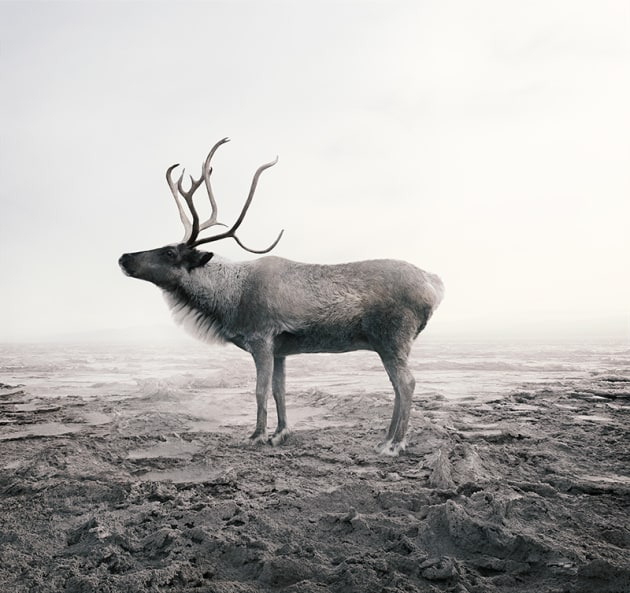 "© Alice Zilberberg. Calm Caribou, 2018. 40"" by 42"" (Edition of 10), 60"" by 62"" (Edition of 5)."