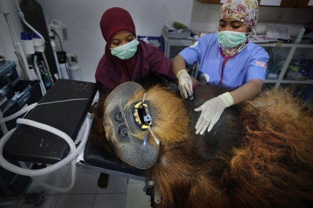 © Alain Schroeder, for National Geographic. Saving Orangutans. Fahzren, a 30-year-old male orangutan, undergoes a routine medical check, at the SOCP Quarantine Centre, on 29 January 2019. He has spent most of his life in a zoo and lacks the skills to be returned to the wild.
