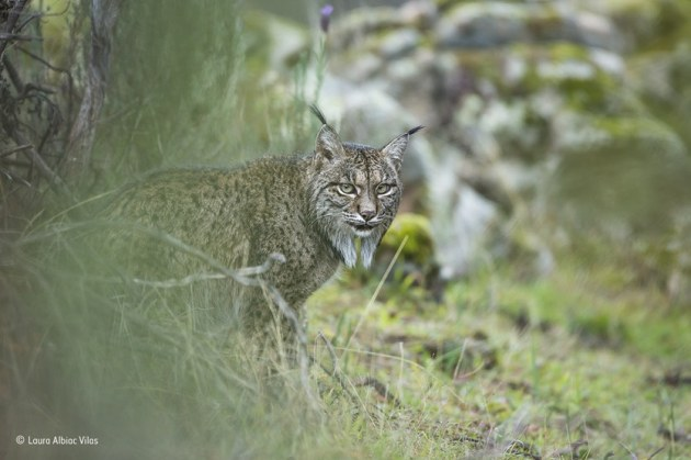 'Glimpse of a lynx': Laura had seen many of Spain's wild animals, but never the illusive Iberian lynx, an endangered cat found only in two small populations in southern Spain. Unlike the larger European lynx, the Iberian lynx feeds almost entirely on rabbits. So a disease that wipes out the rabbit population can be catastrophic. They also need a particular blend of open scrub and natural cavities for natal dens. Laura's family travelled to the Sierra de Andújar Natural Park in search of the lynx – and struck lucky on their second day – a pair were relaxing not far from the road.