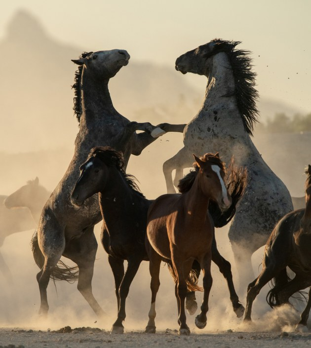 "© Brian Clopp, USA. Winner – Thrills & Adventures portfolio. Dugway Proving Ground, Utah, USA. ""To get these shots, I lived amongst the wild Onaqui herd for a week, camping out in a dusty desert environment. Here wild stallions battle dramatically for hierarchy, sending young foals scattering from the melee."""