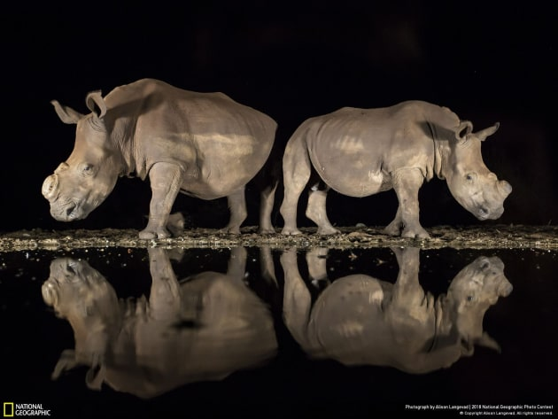 Photograph and caption by Alison Langevad / 2018 National Geographic Photo Contest. As the late-night hours ticked by and my eyelids grew heavy, two southern white rhinoceroses appeared silently from the shadows to drink from a watering hole in South Africa's Zimanga Game Reserve. On alert, they stood back to back, observing their surroundings before lowering their heads. I felt privileged to share this moment with these endangered animals. While I was well prepared technically, with my camera set correctly on a tripod, I underestimated the emotional impact the magnificent beasts would have on me. I had photographed them months earlier, and now both rhinos sported a new look: They had been dehorned to deter poachers. I had heard about this development but had not yet seen them. I was full of emotion—and horror—that poaching had such a devastating effect. It must have been a hard decision to dehorn their rhinos, and I am grateful for the reserve's efforts.