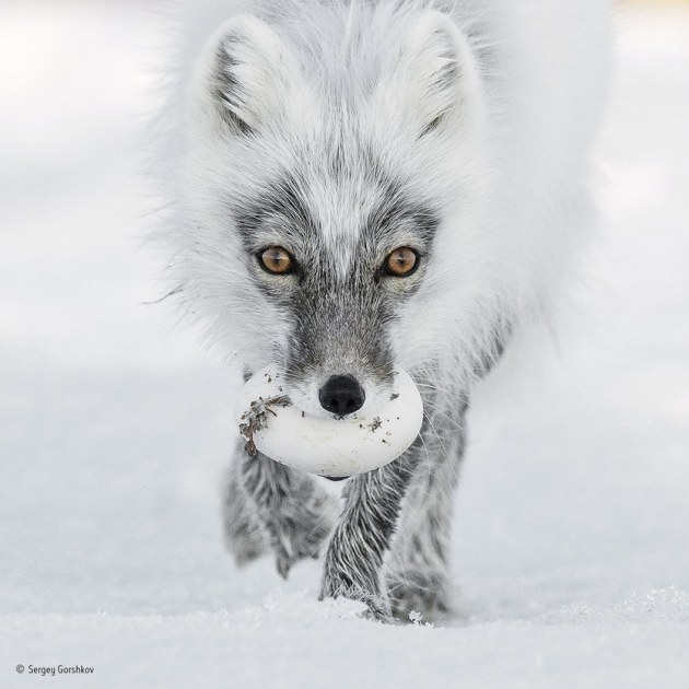 'Arctic treasure': Carrying its trophy from a raid on a snow goose nest, an Arctic fox heads for a suitable burial spot. This is June and bonanza time for the foxes of Wrangel Island in the Russian Far East. Lemmings are the basic diet for Arctic foxes, but Wrangel suffers long, harsh winters and is ice‐bound for much of the year, making it a permanent source of stored food for these opportunist animals.