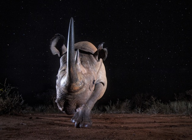 © Will Burrard-Lucas, UK. Winner – Dusk to Dawn. Tsavo West National Park, Kenya. A black rhino photographed with a Camtraptions camera trap at night. This is a single long exposure photograph. The long exposure was required to expose the stars. A flash at the start of the exposure illuminated the rhino.