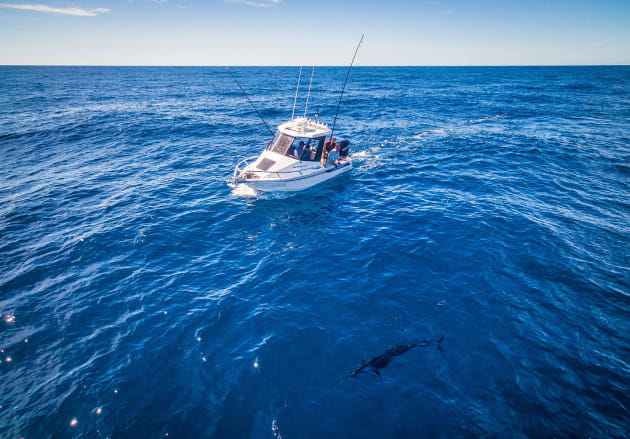 Making memories! A striped marlin close to the boat before being tagged and released.