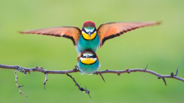 Mating bee eaters photo was made this summer in Podravska county in Croatia. I was using hide and tripod.  Copyright: © Petar Sabol, Croatia, Shortlist, Open, Wildlife (Open competition), 2018 Sony World Photography Awards