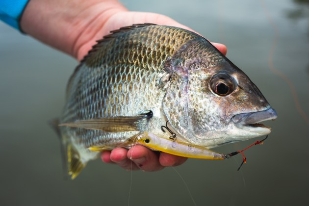 bream on surface lure with assist hooks