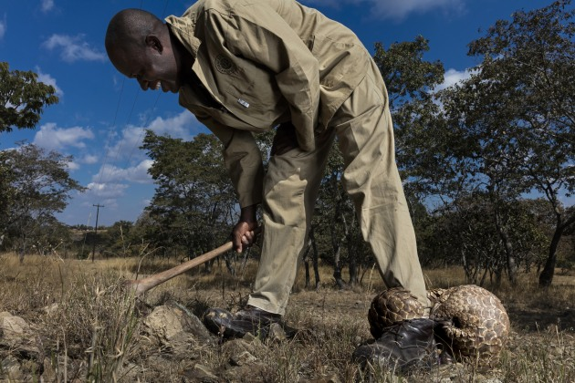 © Brent Stirton, South Africa, Category Winner, Professional, Natural World & Wildlife, 2020 Sony World Photography Awards. Pangolins in Crisis 10. HARARE, ZIMBABWE: Pangolin caregivers at an anonymous farm care for rescued, illegally trafficked pangolins, helping them to find ants and termites to eat and keeping them safe from predators and poachers. This is one of only three true Pangolin rescue and rehabilitation sites in the world. Pangolins are the world's most illegally trafficked mammals, with an estimated one million being trafficked to Asia in the last ten year. Their scales are used in traditional Chinese and Vietnamese medicine and their meat is sold as a high-priced delicacy. As a result, pangolins are listed as critically endangered and all trade or consumption is illegal. Pangolins are the world's most illegally trafficked mammals, with an estimated one million trafficked to Asia in the last ten years.