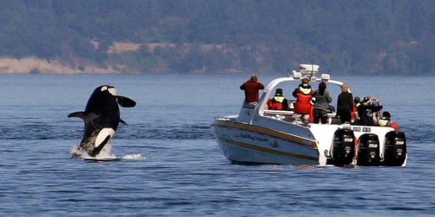 An orca leaps out of the water near a whale watching boat in the Salish Sea on July 31, 2015. AP Photo/Elaine Thompson