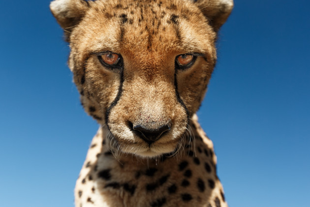A cheetah stares down into the camera lens.