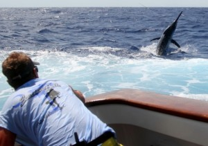 The 1000lb plus black marlin takes to the air as decky Carl hangs on to the trace. Image: Chris Yu