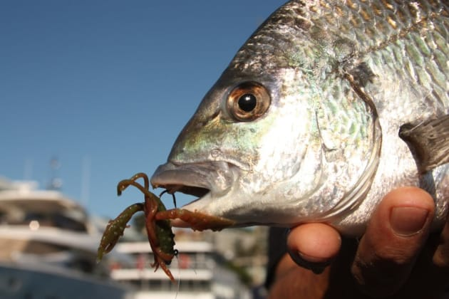 "This nice Sydney Harbour bream couldn't resist the ""bitten-down"" Gulp Craw."