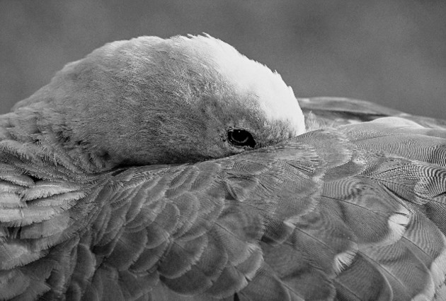 Black & white brings out lots of details of this Cape Barren goose taken on Maria Island. Credit: Greg Clarke and www.mariaislandwalk.com.au
