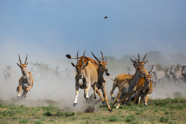 Elands charging towards the camera.